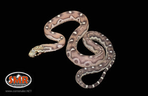"12"" female Scaleless cornsnake - South Mountain Reptiles"