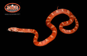 "13"" female Hypo Pied-sided Bloodred - South Mountain Reptiles"