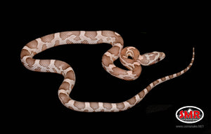 "Coral Ghost Corn Snake 13"" Male"