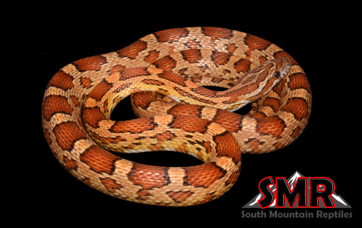 Corn Snake Het Scaleless - South Mountain Reptiles