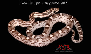 "Anery Hurricane Motley 14"" male - South Mountain Reptiles"