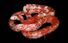 "Load image into Gallery viewer, Het Bloodred Corn Snake 16"" Male"