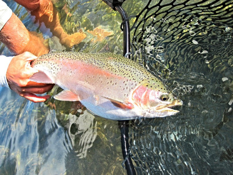 Lower Sacramento Trout Fly Fishing Report
