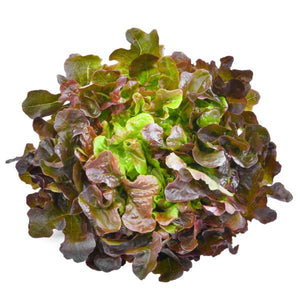 Lettuce - Red Oak