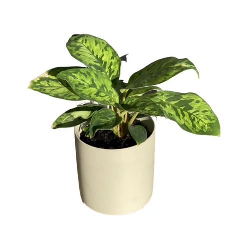 Ceramic beige pot with verigated foliage plant (small)