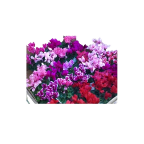 Cyclamens (Mixed Colours)