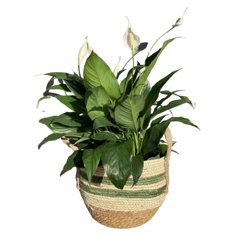Natural woven basket with peace lily (small)