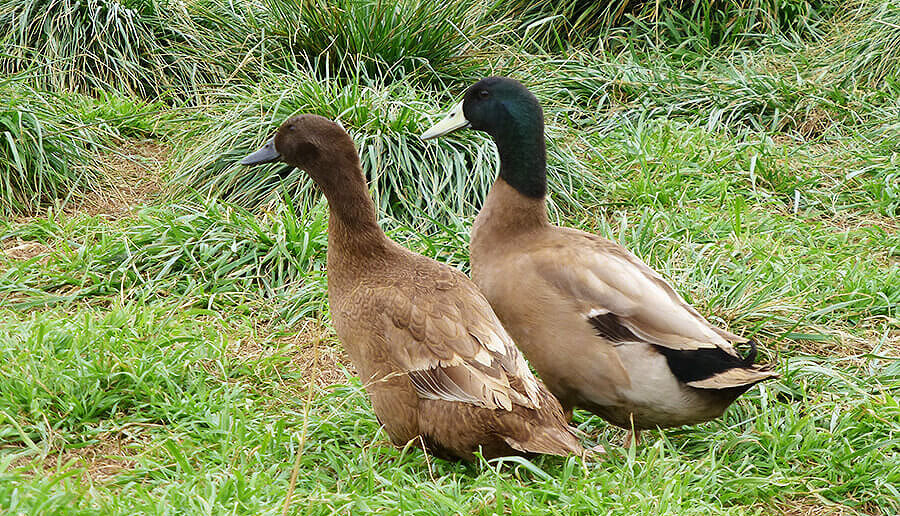 Khaki Campbell Ducks