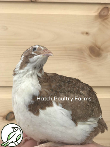 Rare Quail Hatching Eggs