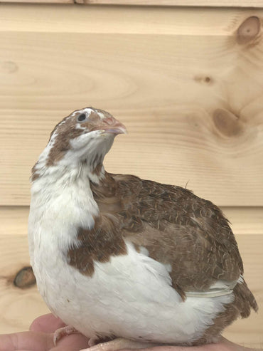 Mixed Quail Hatching Eggs