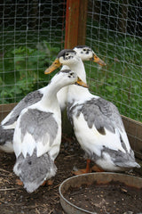 Black and White Magpie Ducks