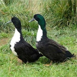 Black Swedish Ducks