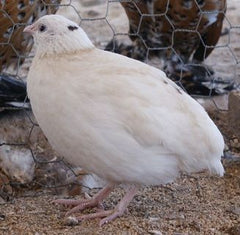 Jumbo White Quail Hatching Eggs