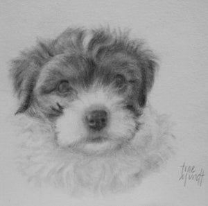 Pencil portrait of Havanese puppy Cooper by artist Trae Mundt
