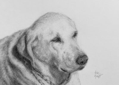 Portrait of Katie by artist Trae Mundt. Pet portrait in pencil and charcoal of labrador retriever.
