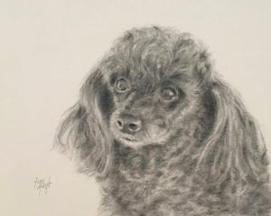 Pencil portrait of miniature poodle Sadee by artist Trae Mundt