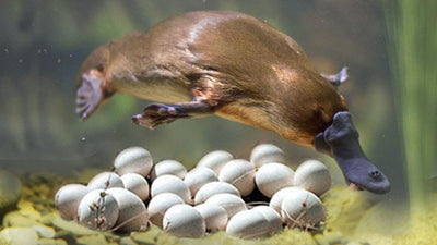 Why Platypus Are So Weird - Their Genes Are Part Bird, Reptile, And Mammal