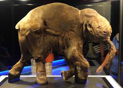 Lyuba: The Remarkably Preserved 42,000-Year-Old Baby Woolly Mammoth
