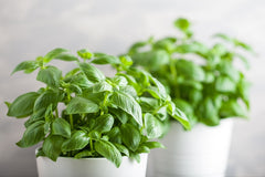 Basil Leaves - Healing Properties and Natural Remedies