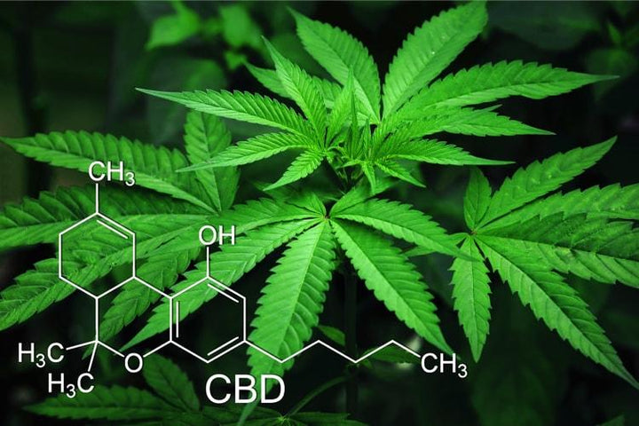 What is cannabidiol? The effect on the human body