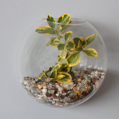 All Glass Terrarium - Large Hanging Wall Bowl - Angelo's Outlet Ltd