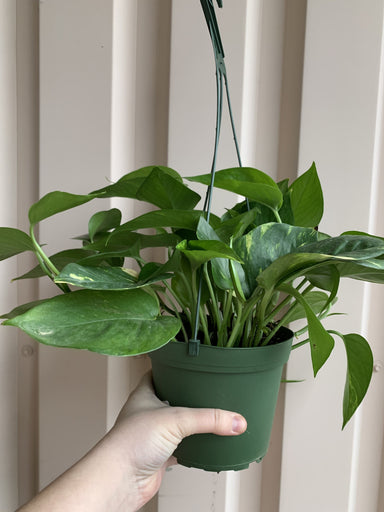 Golden Pothos Plant Cascade Tropicals