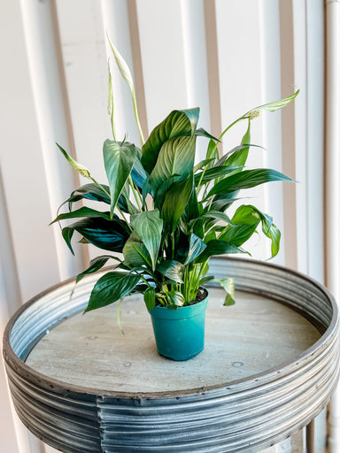 Peace Lily (Spathiphyllum) Plant Cascade Tropicals 4""