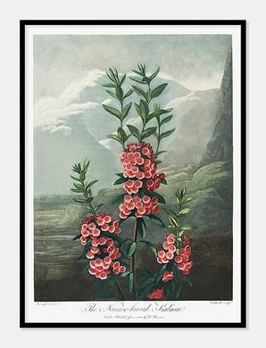 smalbladet kalmia | Robert Thornton - decoARTE