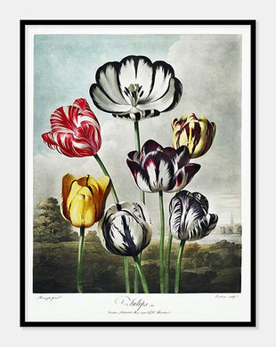 tulipaner | Robert Thornton - decoARTE