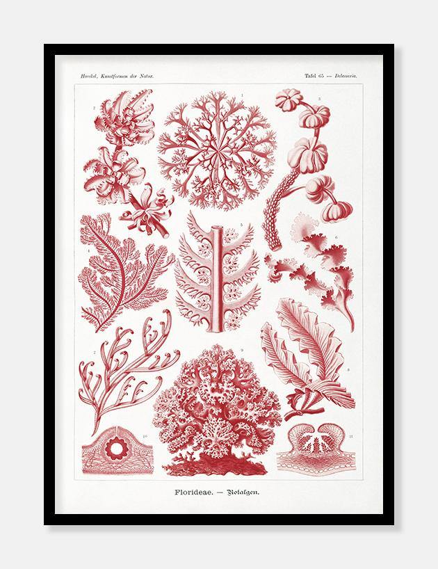 havplanter | ernst haeckel - decoARTE