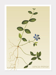 vinca minor | liden singrøn | FLORA BY FLOWERY - decoARTE
