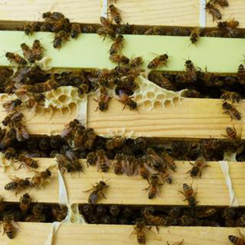Britt's Beekeeping, Part 2: Honeycomb