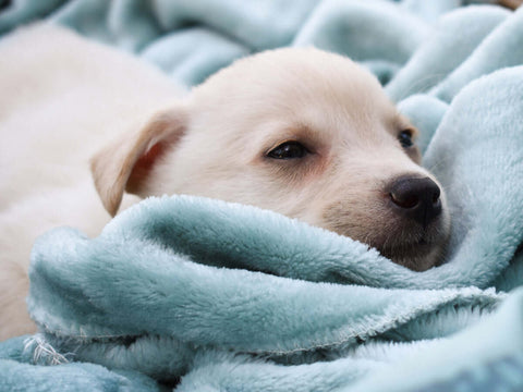 puppy-in-bed