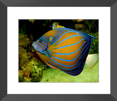 Angelfish Framed Print | Horstmann Designs, Photography Wall Art