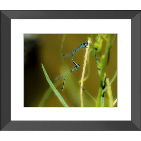 Blue Dragonflies Framed Print | Horstmann Designs, Photography Wall Art