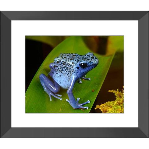 Blue Poison Dart Frog Framed Print | Horstmann Designs, Photography Wall Art