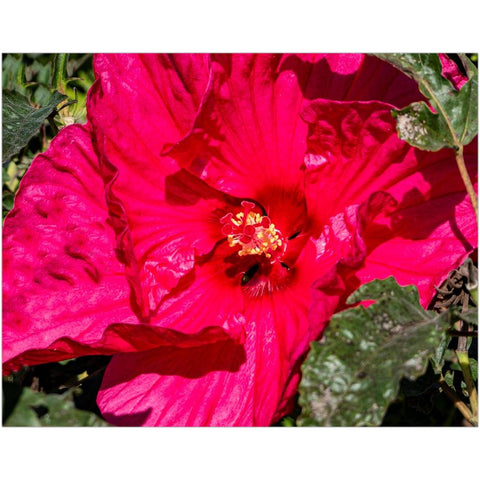 Chinese Hibiscus I-I Fine Art Print | Horstmann Designs, Photography Wall Art