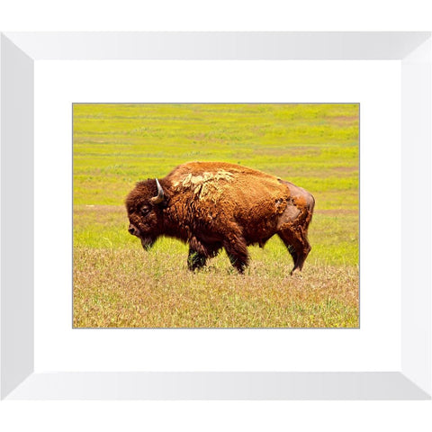 Lone Bison on the Prairie Framed Print | Horstmann Designs, Photography Wall Art