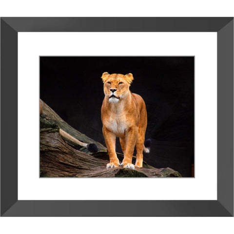 Majestic Lioness Framed Print | Horstmann Designs, Photography Wall Art