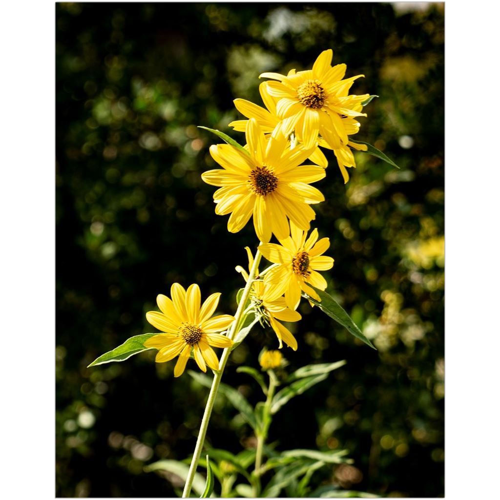 Maximilian Sunflower I-I Fine Art Print | Horstmann Designs, Photography Wall Art