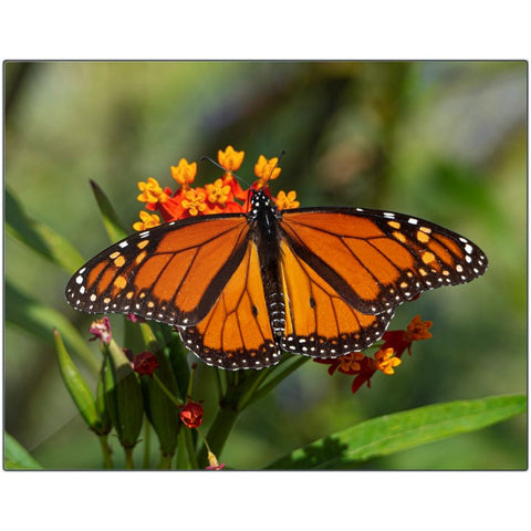 Monarch I-I Metal Print | Horstmann Designs, Photography Wall Art
