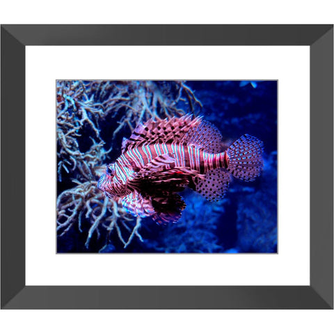 Red Lionfish Framed Print | Horstmann Designs, Photography Wall Art