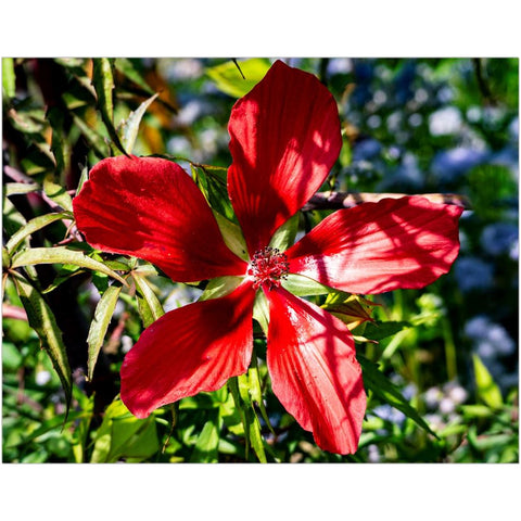 Scarlet Rosemallow I-II Art Print | Horstmann Designs, Photography Wall Art