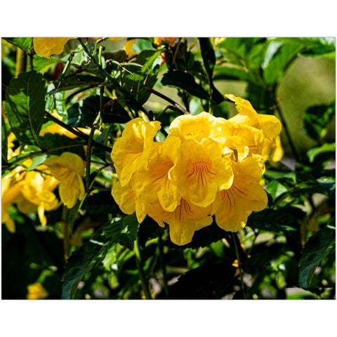 Yellow Trumpetbush I-II Fine Art Print | Horstmann Designs, Photography Wall Art