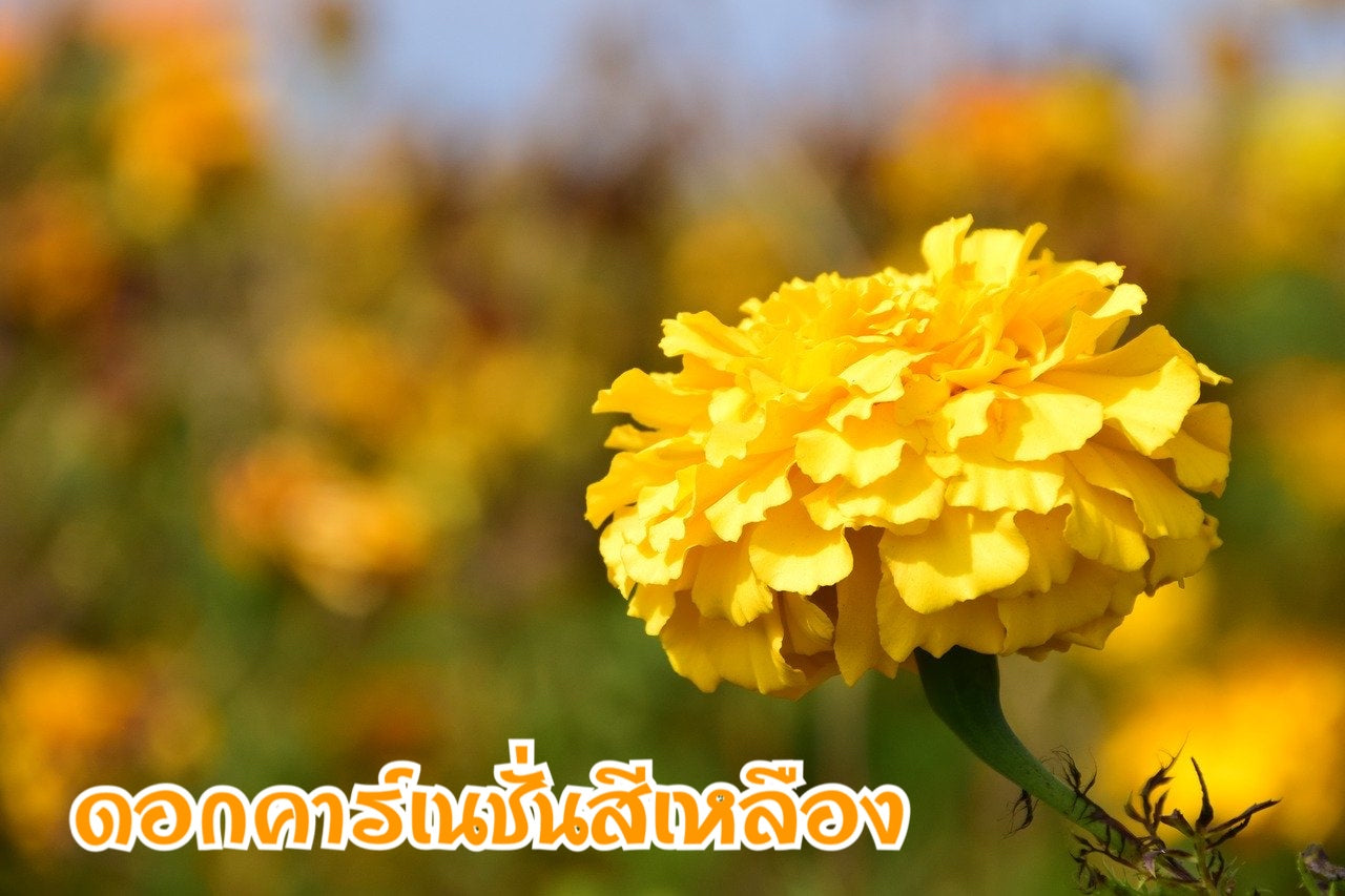 Yellow carnation and meaning