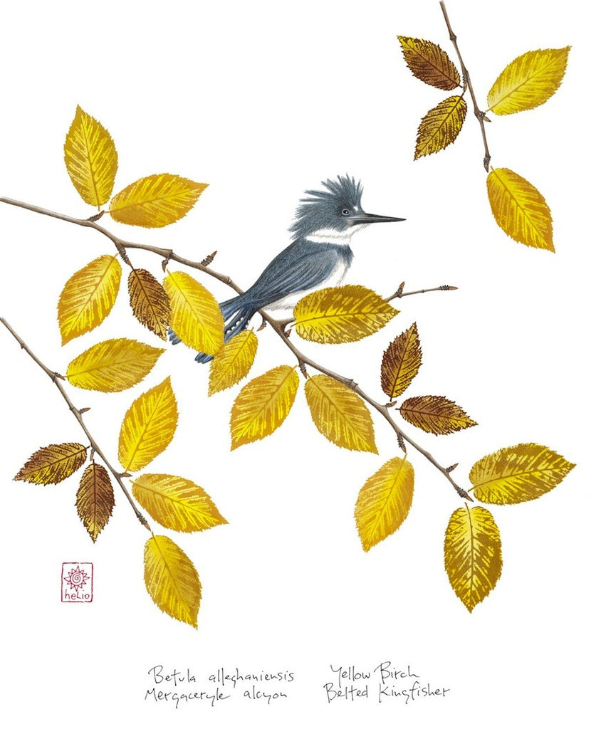 Kingfisher and Yellow Birch Print