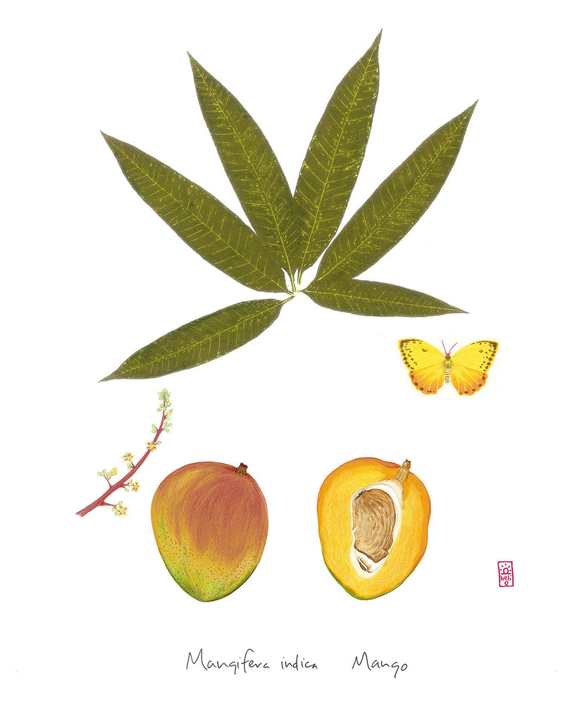 Mango: Tropical Fruit Nature Study
