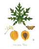 Papaya: Tropical Fruit Nature Study