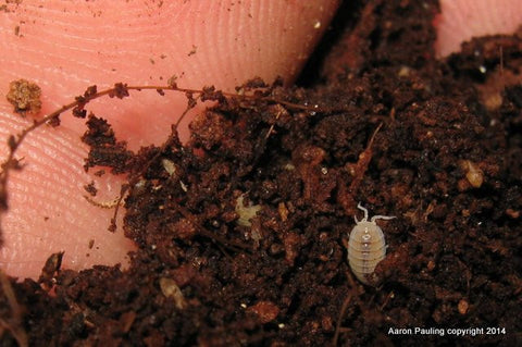 Dwarf White Isopod culture