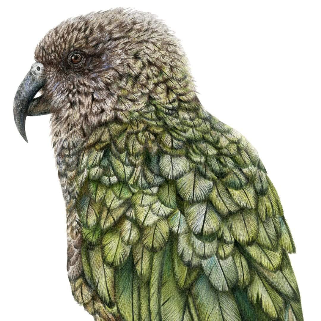 Cheeky Kea Art Print by Olivia Bezett